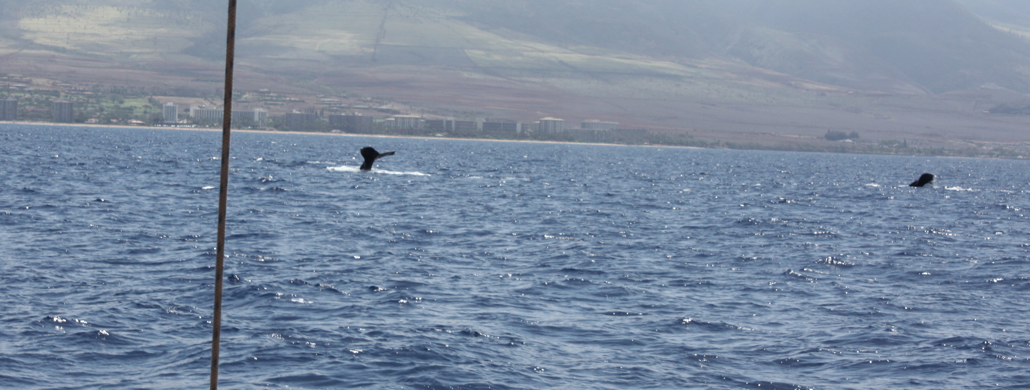 Maui, whales, whale watching, family activity, humpback whales, Trilogy whale watching tour