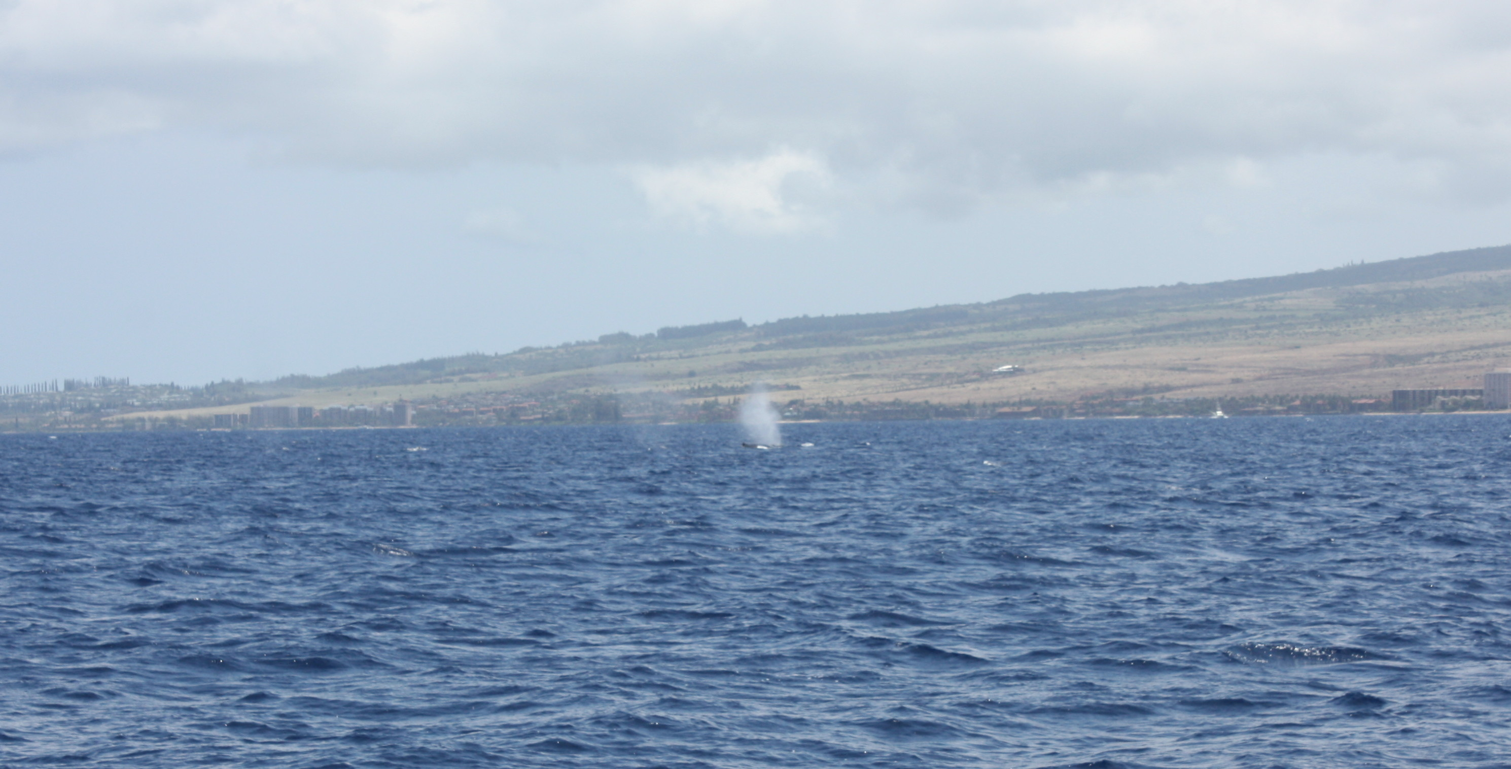 Maui, whales, whale watching, family activity, humpback whales, Trilogy whale watching